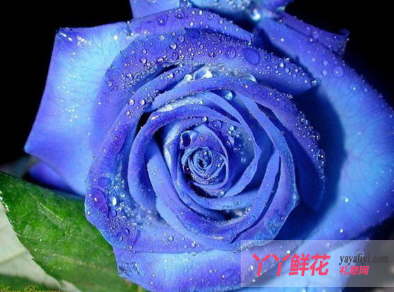 蓝色妖姬的花语是什么?