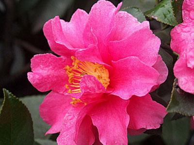 .daxiao {font-size:12px}                        茶梅 Camellia sasanqua                              茶梅,山茶科山茶属油茶组常绿小乔木,嫩枝有毛。树形矮小,终年常青