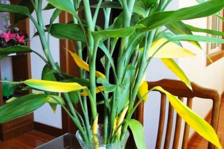控制浇水 花盆入房后,由于空间不如室外开阔,花盆及值株表面的水分蒸腾量有所降低。如果此时还像原来那样浇水,会因盆土偏湿造成烂根,致使叶片发黄。减少施肥 花卉入房后,气温上升