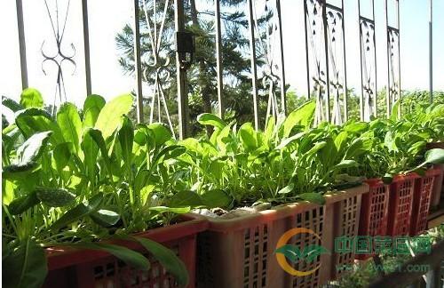 核心提示:总是会看见别人家的阳台上摆弄着不同种类的花儿,花儿长的很好,那么如果是换成蔬菜,是不是也可以发芽开花结果呢?现在已经有很多人证实了这一点,阳台种菜的确可以培育出新