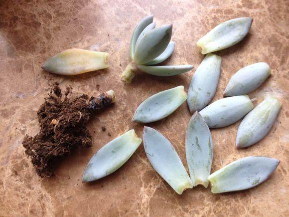 多肉植物腐烂原因:腐烂是多肉植物最常出现的一种疾病,通常是由于浇水过多或养殖环境过于湿润而引起的真菌感染。多肉植物大多生长于沙漠气候中,适应的是极度干旱的生长环境,所以