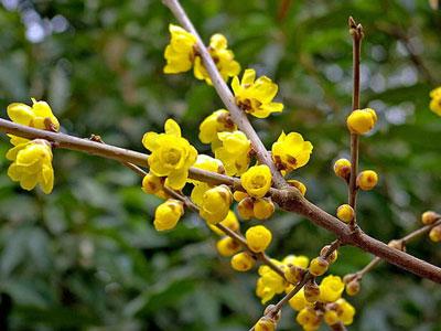 .daxiao {font-size:12px}                        蜡梅Chimonanthus praecox                              蜡梅,学名Chimonanthus praecox,是蜡梅科蜡梅属植物,因花瓣似蜡