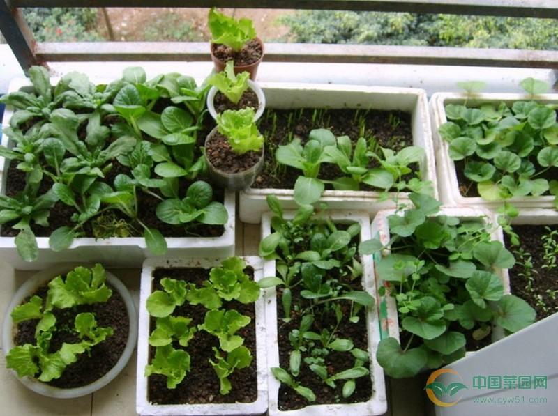 核心提示:阳台种菜已经是很多人都非常喜欢的一种种植方式,很多人都很喜欢这种种植方式。阳台种菜种出来的蔬菜绿色又健康,步骤也是非常简单的。很多人都会想阳台种植蔬菜的时候