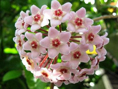 .daxiao {font-size:12px}                        球兰 Hoya carnosa                              球兰,萝藦科球兰属植物。攀援灌木,附生于树上或石上;茎节上生气根。聚