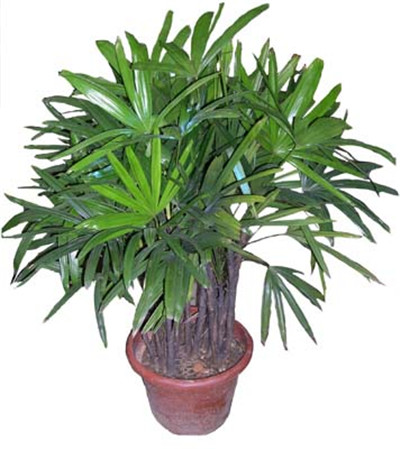 棕竹叶子发黄原因一光照过强棕竹叶片翠绿,但经不起阳光直射。在养护过程中,光照过强,叶片的水分很快就会蒸发殆尽,进而叶子发黄,叶尖干枯。解决方法棕竹喜阴,将棕竹放在阳光明亮的