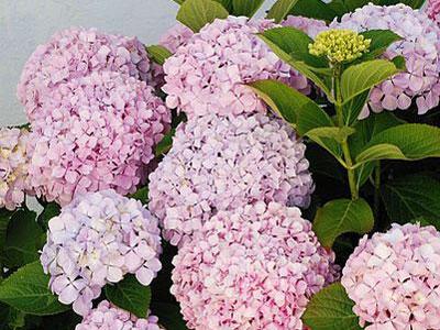 .daxiao {font-size:12px}                        八仙花 Hydrangea macrophylla                              八仙花,即绣球花,别名草绣球、粉团花等。绣球花科绣球属落