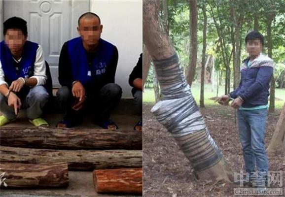 中奢网娱乐讯 男子盗窃黄花梨树,被判刑被罚款。居住在云南省的三名男子盗窃黄花梨树,因为被金钱冲昏了头脑,所以趁着下雨的时候潜入了西双版纳热带植物园将一颗黄花梨树偷偷的