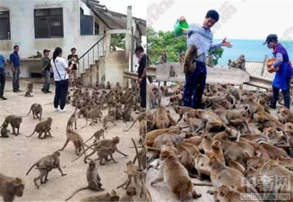 中奢网娱乐讯 泰国景区猴子泛滥,影响人的正常生活。最近,根据泰国华欣那里的民众爆料,我们可以了解到在泰国景区猴子泛滥,总是成群结队的下山打劫饭店,这种行为严重的影响着商业