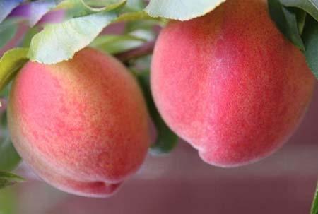 桃子和西瓜能一起吃吗?吃桃补铁?桃子的营养价值很高,一个中等大小的桃子,大概有80~100大卡,相当于小半碗饭,这也是为什么人们说桃饱人,大概就是这个道理。不过我们真的了解桃子吗?下